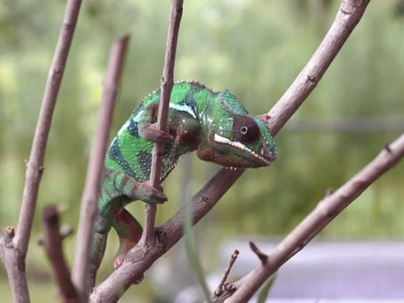Chameleons - can remarkable and dramatically change - can you?