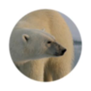 Polar Bear Climate Change.png