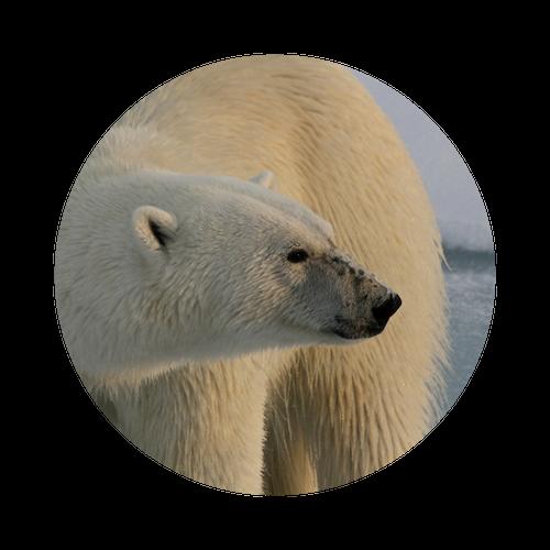 Polar Bear Climate Change.png