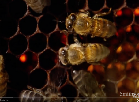 David Attenborough narrated video - Bees waggle dance
