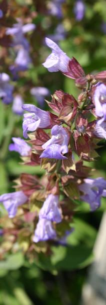 Salvia-sclarea.JPG