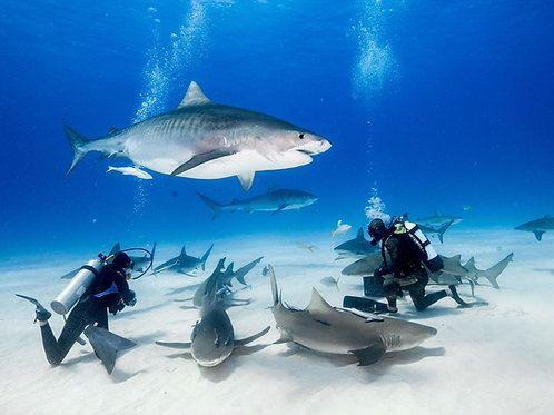 Bull Shark Diving Experience - Mexico Divers