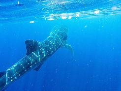 WhaleSharkTour7-tasteofisla-islamujeres-