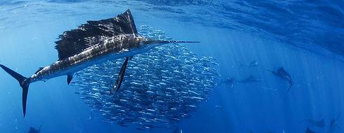 SailFish1-IslaMujeres-Mexico-WingDiving-