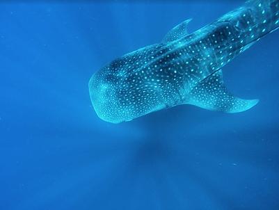 Whale-Shark-Tour-Boat-Day-Punta-Sur-Sunr