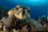 Loggerhead Turtle Dive