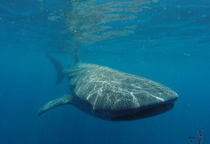 Sea Hawk Whale Shark | Isla Mujeres, Mexico