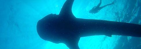 SeaHawkWhaleShark-TasteofIsla-Isla Mujer