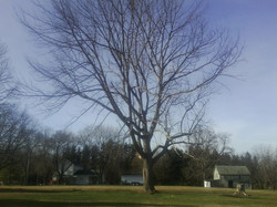 A large tree to be removed