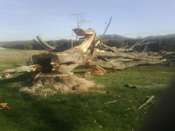 A downed large tree