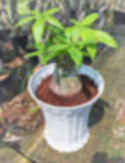 Single Stalk Pachira (Short)