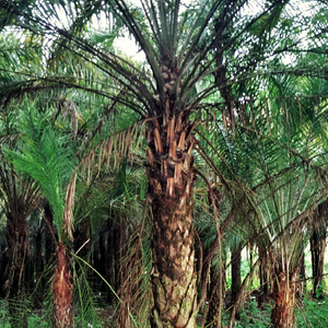 Date Palm Medium