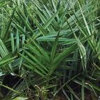 Date Palm Seedling