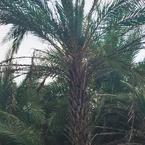 Date Palm Large