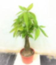Single Stalk Pachira (Tall)