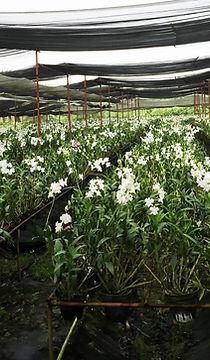 fosaco cu chi orchid garden