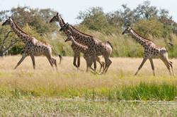 Ngamo wet season - Giraffes canter across the plain.jpg