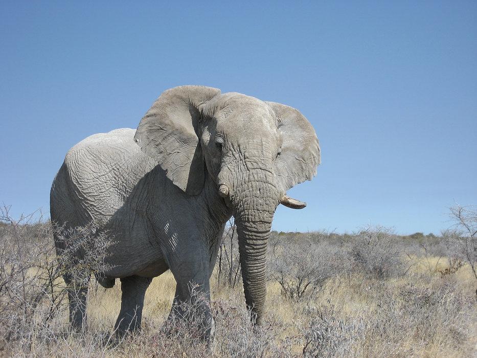 african safari elephant etosha national park namibia.jpg