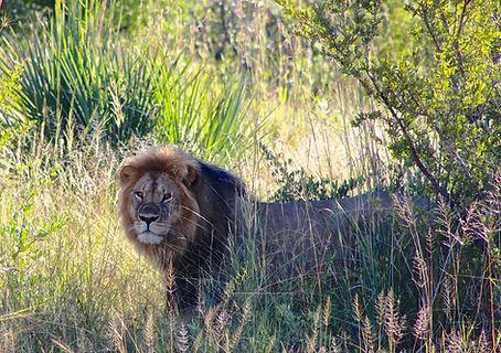 13 - Camelthorn -Lion near the lodge.jpg