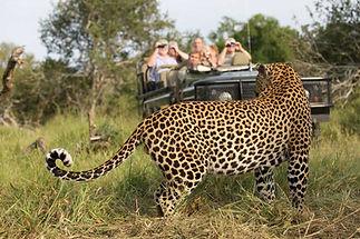 african safari Mala Mala Leopard Kruger Park South Africa.jpg
