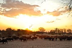 Ngamo dry season - Buffalo herd.JPG