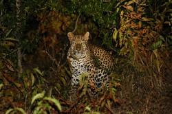 african safari leopard zimbabwe.jpeg