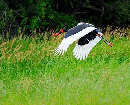 Ngamo wet season - Saddle-billed stork - Brendan Ryan.jpg