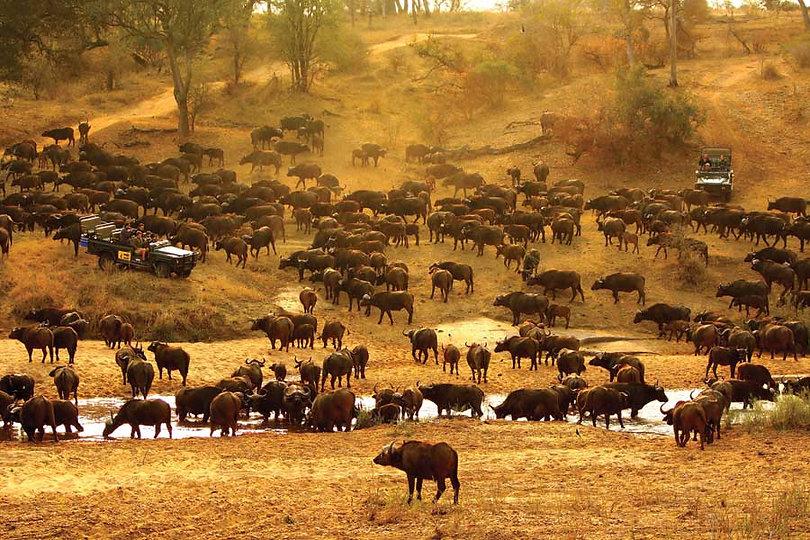 african safari south africa Mala Mala Cape Buffalo-1.jpg