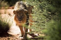 african safari lion south africa.jpg