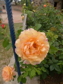 Rose de Saint Adrien