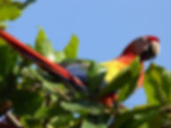 Parrot in Punta Islita, Araproject, beautiful nature, wildlife Costa Rica, cheap