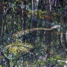Python vs Alligator