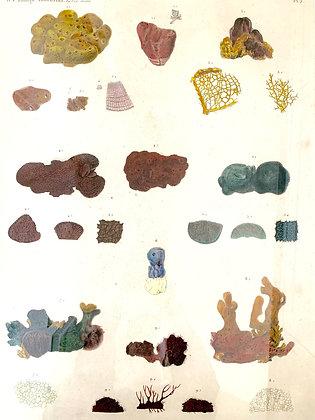 Unusual 19th Century Coral Print by Renard and Jules Cesar Savigny