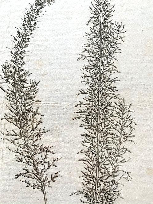 Veronica Pinnata Print