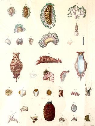 Unusual 19th Century Sea Urchin Print by Renard and Jules Cesar Savigny