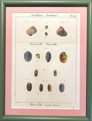 Bernard Direxit, 'Shell Plate from Histoire Naturelle' 1778
