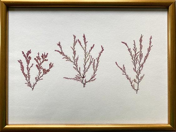 The Drum, 'A Trio of Pressed Iris Seaweed'
