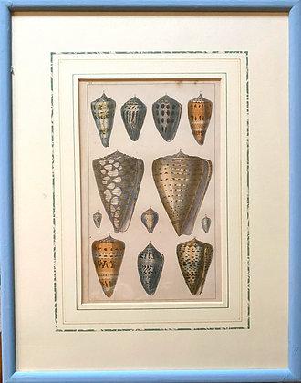 19th Century Shell Colourplate