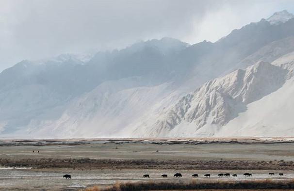 Wild yak.