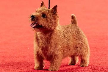 2018-ANC-Terrier-Norwich-Terrier-2F6A163