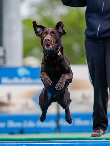 Chocolate lab at a dock diving event jum