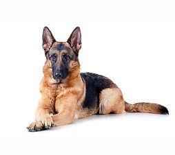 German-Shepherd-on-White-00.jpg
