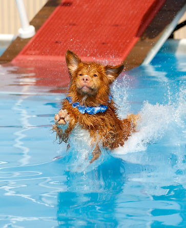 Nova Scotia Duck Toller landing in the p