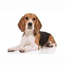 Beagle-On-White-07.jpg