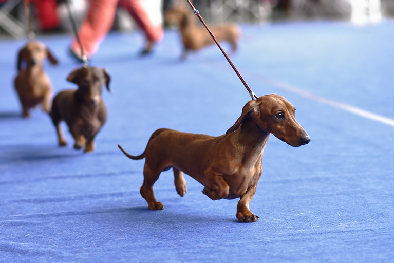 Four dachshunds on the dog show.jpg
