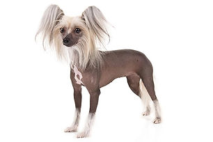 Chinese-Crested-On-White-01.jpg