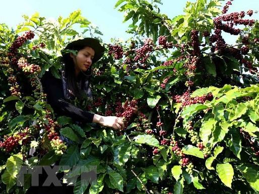 Sorprendente caffè arabica dalla capitale del tè del Vietnam - SƠN LA