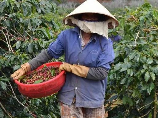 Così il caffè Lavazza arriva a Genova dal Vietnam