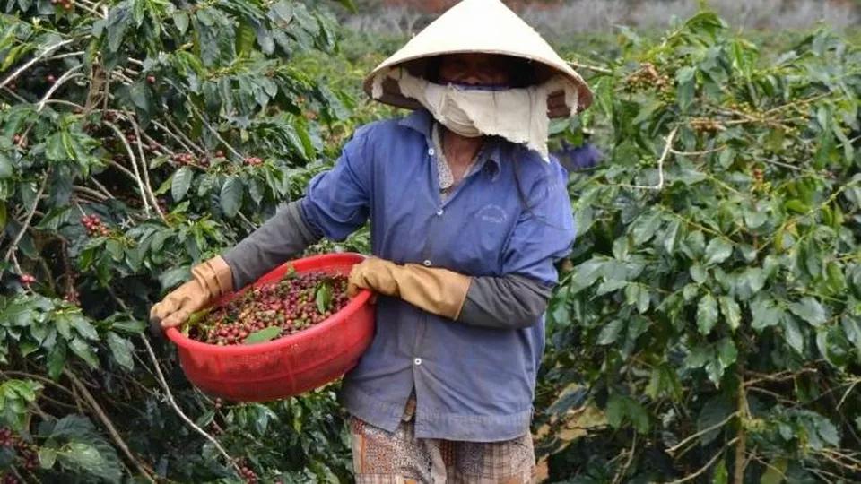 Il Caffè Vietnamita utilizzato in Lavazza