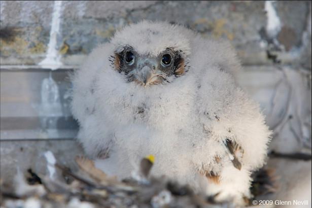 Eyas on banding day_Peregrines nesting i